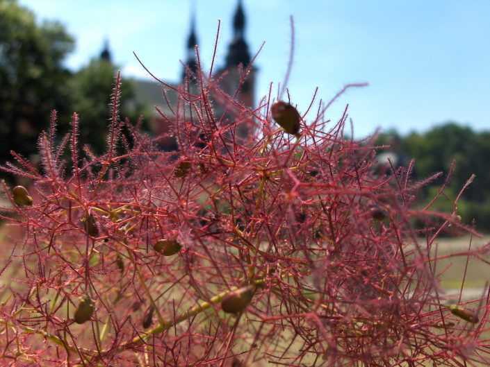 Macro photo of pink plant in Polland and blurred local church in the background