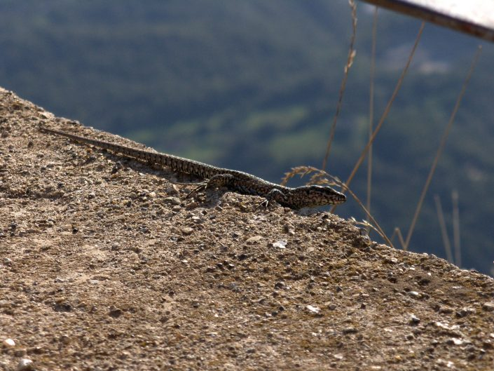 Macro photograph of Lizzard on the ridge in the mountains, Italy