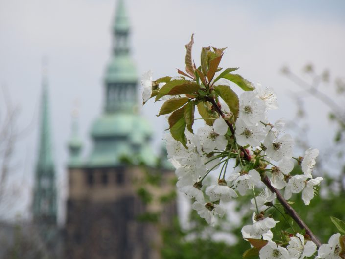 Macro Phtography of blooms in Prague with prague caste blurred in the background