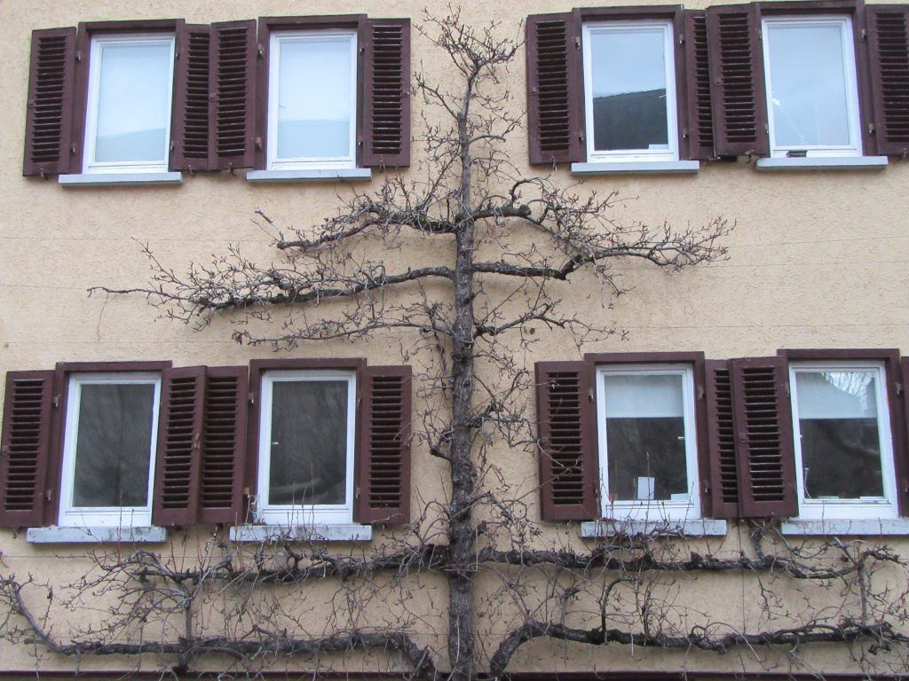 Blindweed with perfect shape of tree with 90 degrees angles of branches following the windows and wall of a building