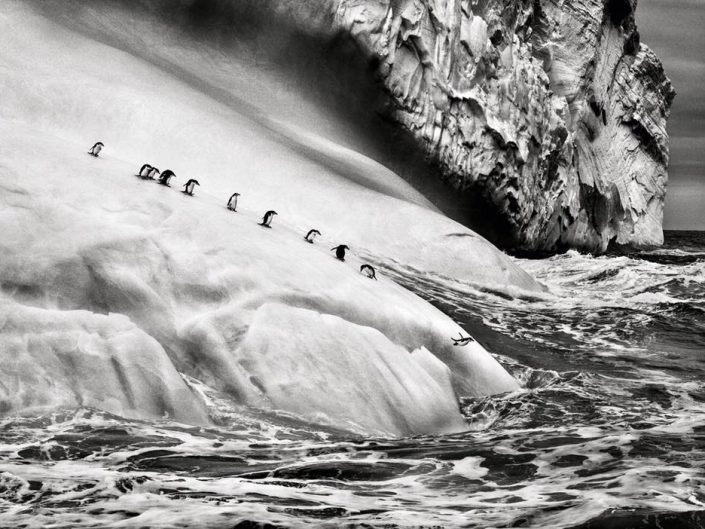 Sebastião Salgado Photography of Penguins jumping into the water