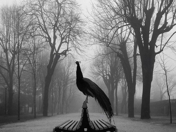 The Proud Peacock by Diogo Lage Photography