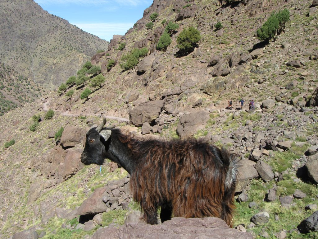 Wild goat in Jebel Toubkal Route, Morocco