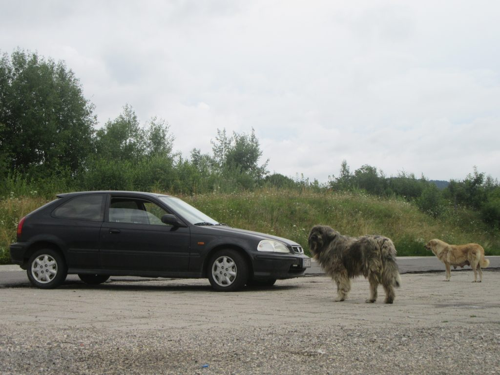 Stray Dogs in Romania near Honda Civic. Road Trip to Romania