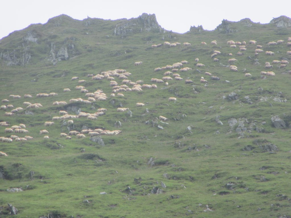 Sheep herd among many others in Romania